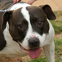 American Pit Bull Terrier/Labrador Retriever Mix Dog for adoption in Newnan, Georgia - Cyndi