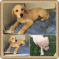 Adopt A Pet :: Baxter adoption pending - Manchester, CT