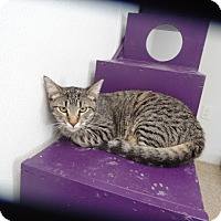 Domestic Shorthair Cat for adoption in Tucson, Arizona - JACKIE