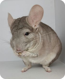 Chinchilla for adoption in AUGUSTA, Maine - Nacho