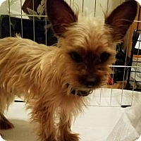 Yorkie, Yorkshire Terrier Dog for adoption in Spring, Texas - Cooper