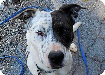 Pit Bull Terrier Mix Dog for adoption in Salem, West Virginia - Tris