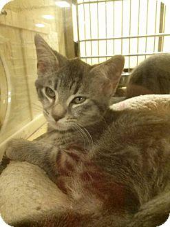 Domestic Shorthair Kitten for adoption in Northfield, Ohio - Rebel