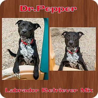 Labrador Retriever Mix Dog for adoption in Harrisburg, North Carolina - Dr. Pepper