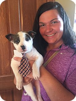 Pit Bull Terrier/Cattle Dog Mix Puppy for adoption in Brandon, South Dakota - Porter