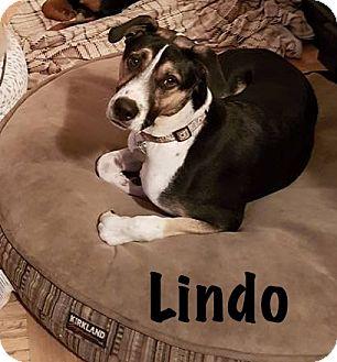 Staffordshire Bull Terrier Mix Dog for adoption in Calgary, Alberta - Lindo
