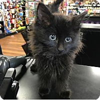 Adopt A Pet :: Licorice - River Edge, NJ