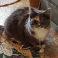 Calico Cat for adoption in Ocala, Florida - Lily