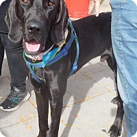 Great Dane Mix Dog for adoption in Rockville, Maryland - Zeus