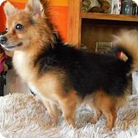 Adopt A Pet :: Little Prince - Yucaipa, CA