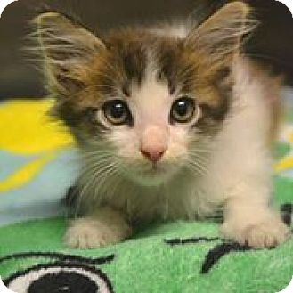Domestic Mediumhair Kitten for adoption in Beaumont, Texas - Cotton