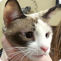 Snowshoe Kitten for adoption in Lexington, Kentucky - Autumn