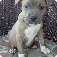 Adopt A Pet :: Rose - Las Vegas, NV