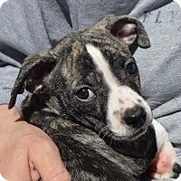 Adopt A Pet :: PAIGE - Cranston, RI