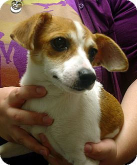 Jack Russell Terrier Mix Puppy for adoption in baltimore, Maryland - Journey