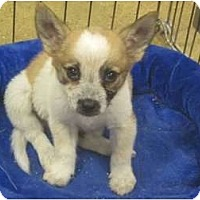 Adopt A Pet :: Booboo - The Colony, TX