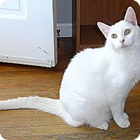 Adopt A Pet :: SNOW - Springfield, PA