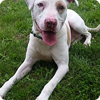 American Pit Bull Terrier/American Staffordshire Terrier Mix Dog for adoption in Hedgesville, West Virginia - Scout-very athletic!