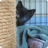 Adopt A Pet :: Wrigley - Maywood, IL