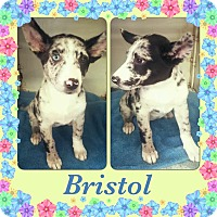 Adopt A Pet :: Bristol Adoption pending - East Hartford, CT