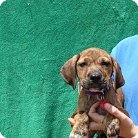 Adopt A Pet :: Mace - Oviedo, FL