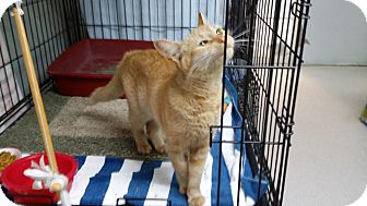 Domestic Shorthair Cat for adoption in Port Clinton, Ohio - Ginger