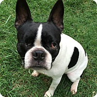 Boston Terrier Dog for adoption in Greensboro, North Carolina - Bubbles