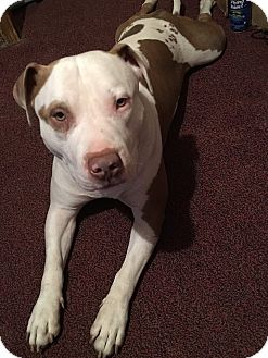 Pit Bull Terrier Mix Dog for adoption in New York, New York - DJAY