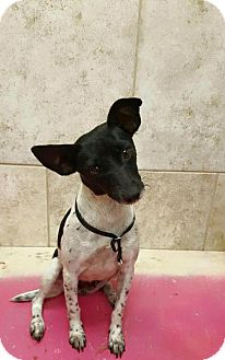 Jack Russell Terrier Mix Dog for adoption in Naples, Florida - Valentina