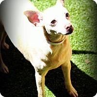 Adopt A Pet :: Pauline - Ft. Lauderdale, FL