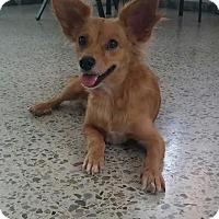 Adopt A Pet :: Gema - New York, NY