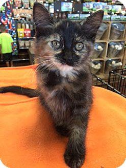 Domestic Longhair Kitten for adoption in McKinney, Texas - Clementine