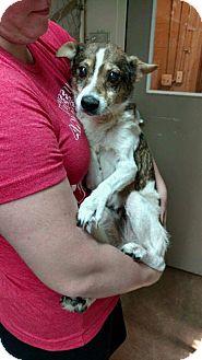 Shiba Inu/Rat Terrier Mix Dog for adoption in Oakland, Florida - Pumpkin