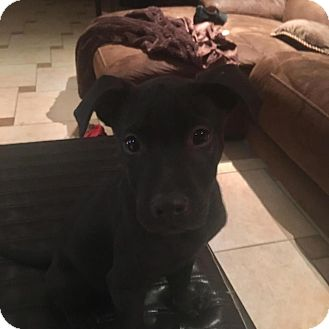 Labrador Retriever/Pit Bull Terrier Mix Puppy for adoption in Valley Stream, New York - Mills