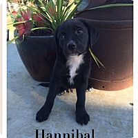 Adopt A Pet :: Hannibal ADOPTION PENDING - Cleveland, OK