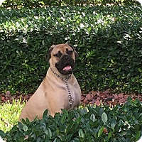 Adopt A Pet :: Stella - North Port, FL