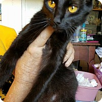 Domestic Mediumhair Cat for adoption in Jarrell, Texas - Pumpkin