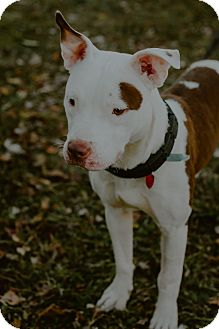 American Pit Bull Terrier Mix Dog for adoption in west berlin, New Jersey - Leo