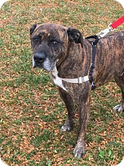 Pit Bull Terrier Mix Dog for adoption in Monroe, Michigan - Jody