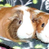 Adopt A Pet :: Sharpedo - Steger, IL