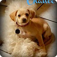 Beagle/Beagle Mix Puppy for adoption in Phoenix, Arizona - CHANCE