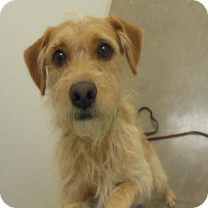 Terrier (Unknown Type, Small) Mix Dog for adoption in Phoenix, Arizona - Bowie