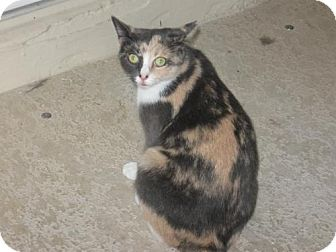 Calico Cat for adoption in Ft. Lauderdale, Florida - Abigail