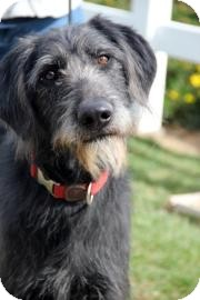 irish wolfhound german shepherd mix