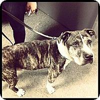Adopt A Pet :: Herman (foster care) - Philadelphia, PA