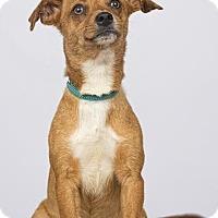 Adopt A Pet :: Socks - Phoenix, AZ