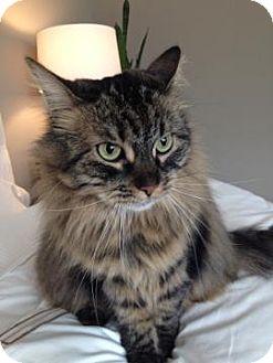 Domestic Longhair Cat for adoption in San Jose, California - CHloe