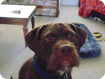 German Wirehaired Pointer/Bulldog Mix Dog for adoption in Guelph, Ontario - Oscar