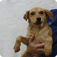 Adopt A Pet :: Sheba - Oviedo, FL