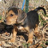 Adopt A Pet :: Linus - Bedminster, NJ